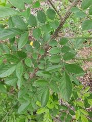 Lonchocarpus minimiflorus image