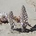 Cistanche deserticola - Photo (c) Oyuntsetseg Batlai, all rights reserved