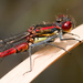 Large Red Damselfly - Photo (c) Philipp salzgeber, all rights reserved