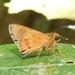 Zographetus ogygia - Photo (c) lenachow, todos los derechos reservados