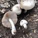 Pluteus petasatus - Photo (c) milavth, όλα τα δικαιώματα διατηρούνται