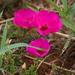 Amor de Un Día - Photo (c) Jay Keller, todos los derechos reservados, uploaded by Jay L. Keller