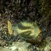 Aracana ornata - Photo (c) Deb Aston, todos los derechos reservados