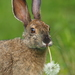 Hares and Rabbits - Photo (c) kmelville, all rights reserved