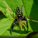 Short-bellied Slender Jumping Spider - Photo (c) Brian Gooding, all rights reserved
