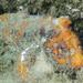 Paraploactis trachyderma - Photo (c) Deb Aston, todos os direitos reservados