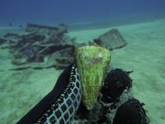 Conus spurius image