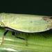 Diplocolenus abdominalis - Photo (c) gernotkunz, כל הזכויות שמורות
