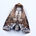Sericochroa lauta - Photo (c) Eerika Schulz, todos los derechos reservados