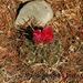 Thelocactus tulensis matudae - Photo (c) Mario Antonio Serra, todos los derechos reservados