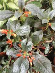 Chrysothemis pulchella image