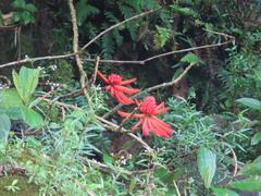 Erythrina gibbosa image