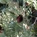 Sagebrush Medusa Gall Midge - Photo (c) Demetrius Mustain, all rights reserved