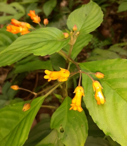 Besleria laxiflora image
