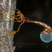 Long-tailed Giant Ichneumonid Wasp - Photo (c) Clarence Holmes, all rights reserved
