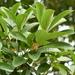 Litsea glutinosa - Photo (c) 黄秦, todos los derechos reservados