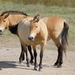 Przewalski's Horse - Photo (c) ladovics, all rights reserved