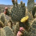 Pancake Pricklypear - Photo (c) desertlover, all rights reserved