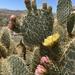 Opuntia chlorotica - Photo (c) desertlover, όλα τα δικαιώματα διατηρούνται