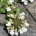 Teucrium pyrenaicum guarensis - Photo (c) steg, כל הזכויות שמורות