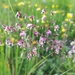 Quaking-Grass - Photo (c) Sarah Sells, some rights reserved (CC BY-NC)