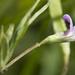 Lathyrus pusillus - Photo (c) Layla, todos los derechos reservados, uploaded by Layla Dishman