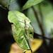 Marmessoidea bispina - Photo (c) earthknight, todos los derechos reservados
