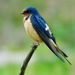 Barn Swallow - Photo (c) dan_miller, all rights reserved