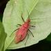 Cydnocoris russatus - Photo (c) WonGun Kim, todos los derechos reservados