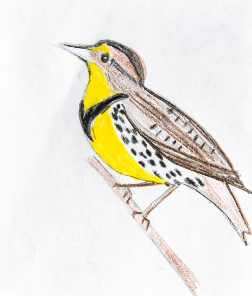 Western Meadowlark Book Of Birds Inaturalistorg