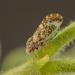 Aphalaroida pithecolobia - Photo (c) Alice Abela, all rights reserved