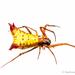 Micrathena duodecimspinosa - Photo (c) Stéphane De Greef, todos los derechos reservados