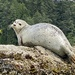 Harbor Seal - Photo (c) kwright, all rights reserved