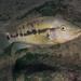 Steindachner's Cichlid - Photo (c) Juan Miguel Artigas Azas, all rights reserved