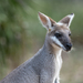 Kangaroos, Wallabies and Allies - Photo (c) Shirley Hitschmann, all rights reserved