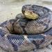 Lachesis stenophrys - Photo (c) Makario González, todos os direitos reservados