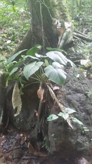 Philodendron grandipes image
