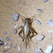 House Cricket - Photo (c) Jay Keller, all rights reserved, uploaded by Jay L. Keller
