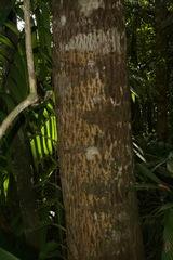 Calophyllum longifolium image