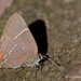 Mexican-M Hairstreak - Photo (c) Ignacio A. Rodríguez, all rights reserved