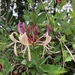 Common Honeysuckle - Photo (c) Gennie Francis, all rights reserved