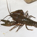 Big Water Crayfish - Photo (c) Owen Lockhart, all rights reserved