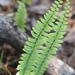 Ebony Spleenwort - Photo (c) Kimberlie Sasan, some rights reserved (CC BY-ND)