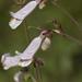 Penstemon laxiflorus - Photo (c) Layla, todos los derechos reservados, uploaded by Layla Dishman