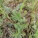 Artemisia pancicii - Photo (c) Mara, todos los derechos reservados