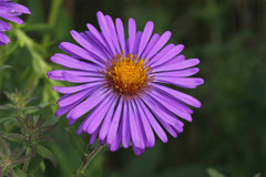 New England Aster - Photo (c) Jerry Cannon, all rights reserved