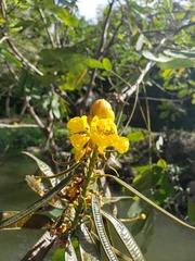 Senna reticulata image