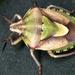 Antheminia lunulata - Photo (c) gernotkunz, todos los derechos reservados