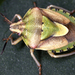 Antheminia lunulata - Photo (c) gernotkunz, todos os direitos reservados