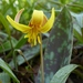 Yellow Trout Lily - Photo (c) fm5050, all rights reserved, uploaded by fm5050